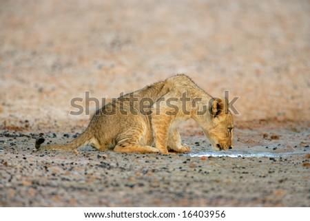 Young lion cub drinking water (Panthera leo), Kalahari desert, South Africa - stock photo