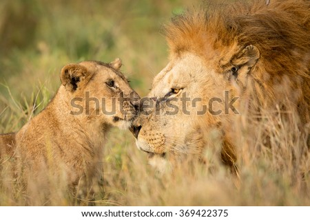 Young Lion cub greeting a large male Lion in the Serengeti, Tanzania - stock photo
