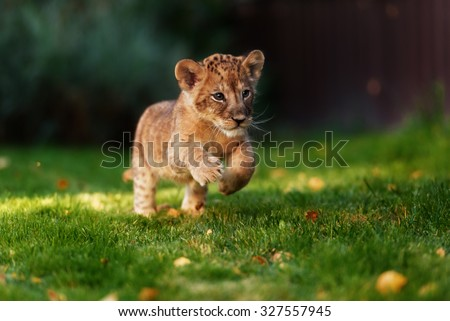 Young lion cub in the wild - stock photo