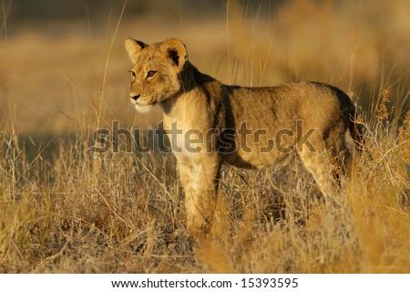 Young lion cub (Panthera leo) in early morning light, Kalahari desert, South Africa - stock photo