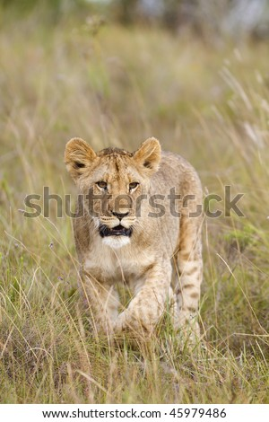 Young lion cub stalks through grassland