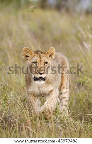 Young lion cub stalks through grassland - stock photo