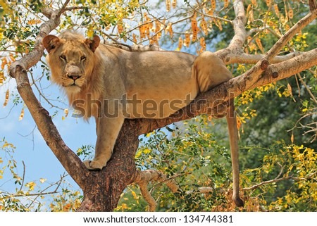 Young lion cub up a tree - stock photo