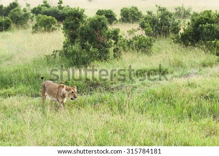 young lion hunting - stock photo