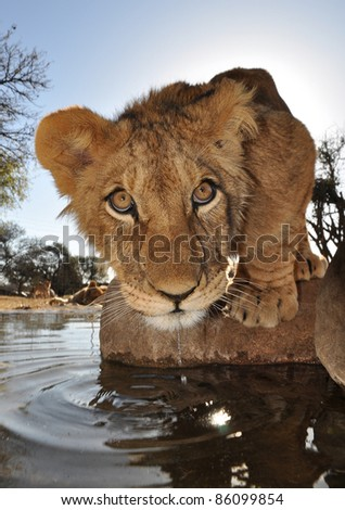 Young lion in Africa - stock photo