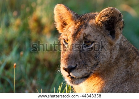 Young lion lit with beautiful sunrise light in central Serengeti national park, Tanzania