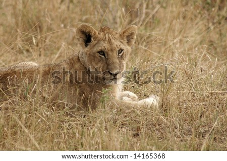 Young lion lying in the grass in the Masai Mara