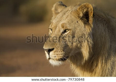 Young lion male closeup