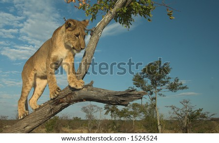 Young lion (panthera leo) playing in a tree at sunset - stock photo