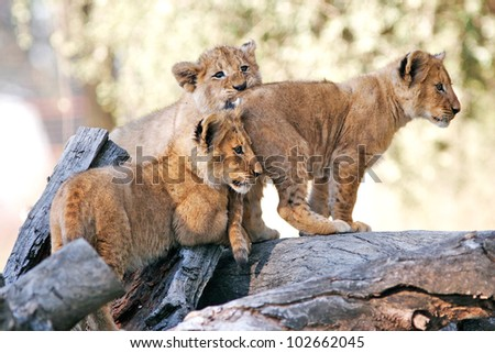 Young lion pride - stock photo