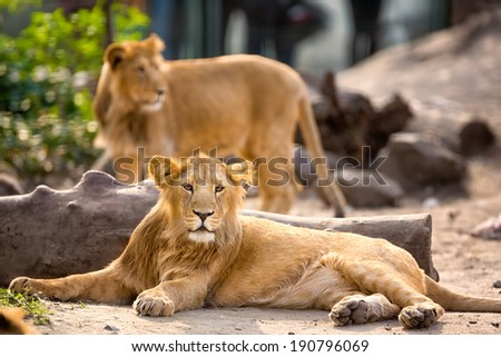 young lion resting in zoo park - stock photo