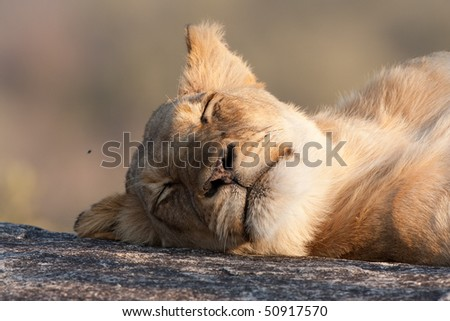 Young lion resting on rock in greater kruger park - stock photo