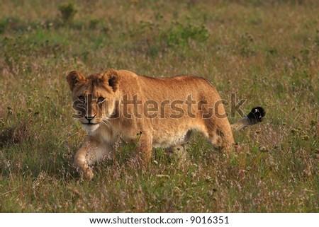 Young lion stalking (Panthera  leo) - stock photo