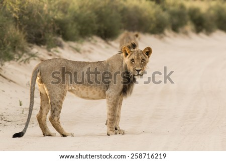 Young Lion stare down - stock photo