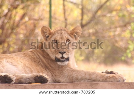 Young Lion staring at you