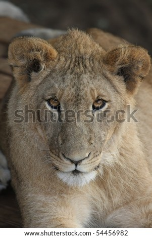 Young lion with beautiful round brown eyes - stock photo