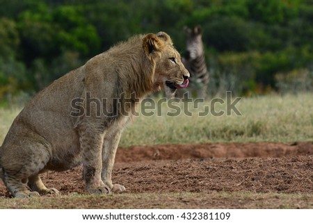 Young Lioness trying to hunt a Zebra - stock photo