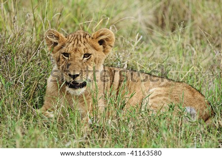 Young lions play in the grass in the coolness of the morning in Tarangire National Park, Tanzania. - stock photo