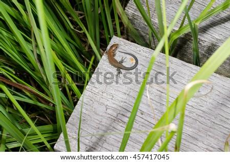 young lizard on path (moor, Germany) - stock photo