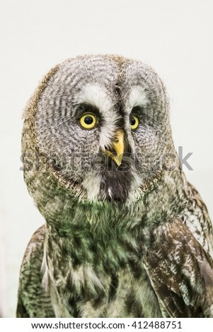 Young long-eared owl   - stock photo