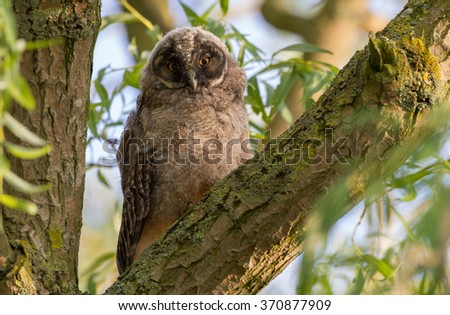 Young long eared owl perched in a tree - stock photo