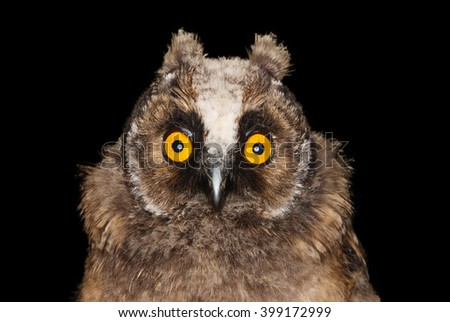 Young long eared owl with surprised look on her face isolated on black background. - stock photo