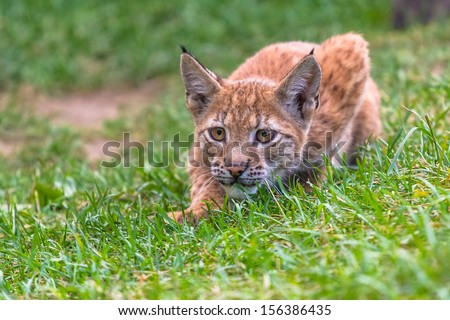 Young lynx cub hunting in the grass - stock photo
