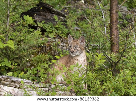 Young Lynx Hiding in the Brush - stock photo