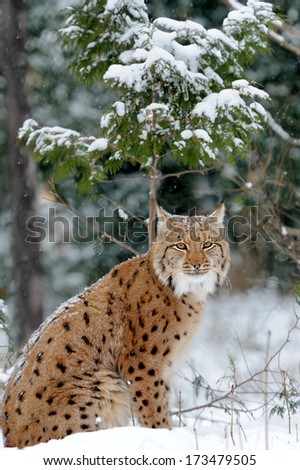 Young lynx in winter forest - stock photo