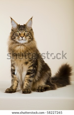 Young Maine Coon cat on beige background - stock photo