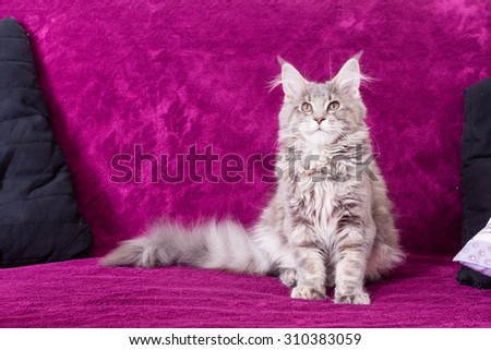 Young Maine Coon cat on the blanket purple colour with pillow lying sitting and posing. White gray and white brown - stock photo