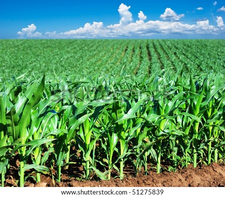 Young maize field with sky and clouds - stock photo