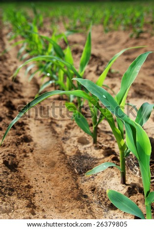 Young maize on the field - stock photo