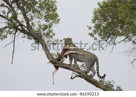 Young male adult leopard takes his kill into the tree in the Masai Mara. - stock photo