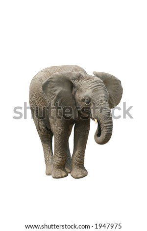Young Male African Elephant Eating - stock photo