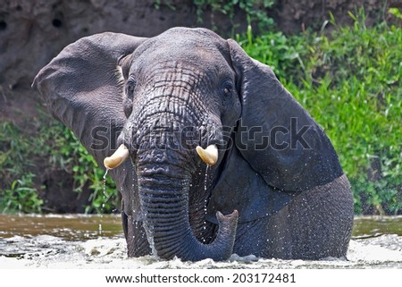Young male African elephants in the Kazinga Channel in Queen Elizabeth National Park, Uganda, East-Africa - stock photo