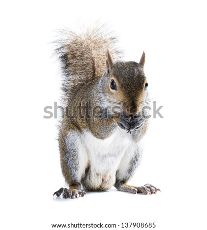 Young male American gray squirrel eats something. Isolated on white background - stock photo