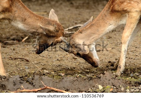 young male antelope deers fighting in nature - stock photo