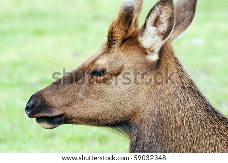 Young Male Elk face detail - stock photo