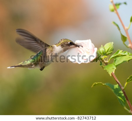 Young male Hummingbird feeding on an Althea flower - stock photo