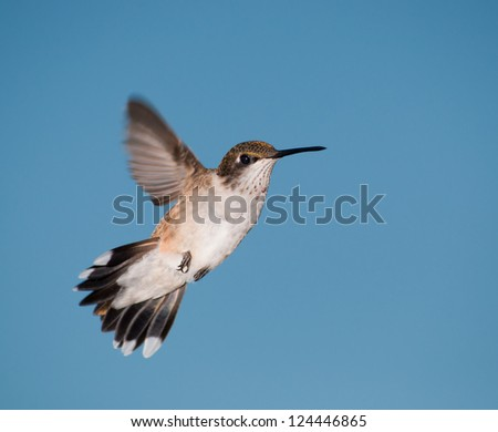 Young male Hummingbird in flight against blue sky