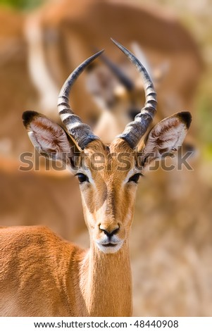 Young male impala antelope, Kruger National Park, South Africa - stock photo