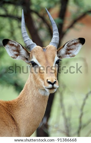 Young male impala antelope, pilansburg National Park, South Africa - stock photo