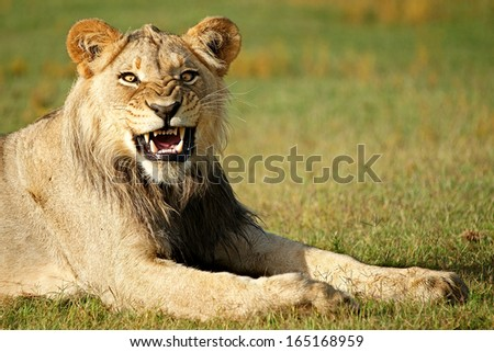 Young Male Lion  - stock photo