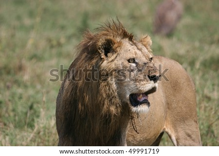Young male lion after chasing prey - stock photo