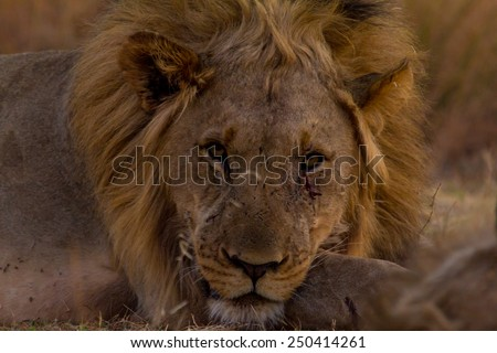 Young male lion full focus - stock photo