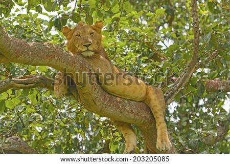 Young Male Lion in a tree in the Ishasha Region of Queen Elizabeth National park - stock photo