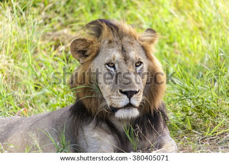 Young Male Lion resting  Tanzania.