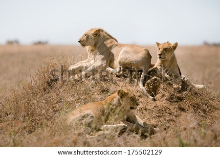 Young male lion resting with his pride in Serengeti, Tanzania Africa.