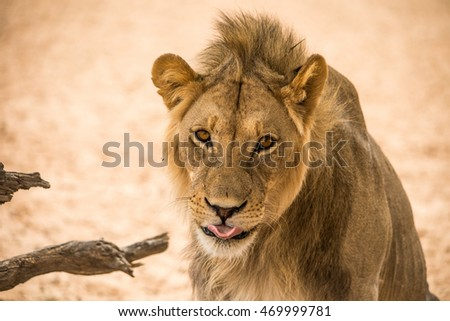 young male lion sticking his tongue out in a funny cute expression.